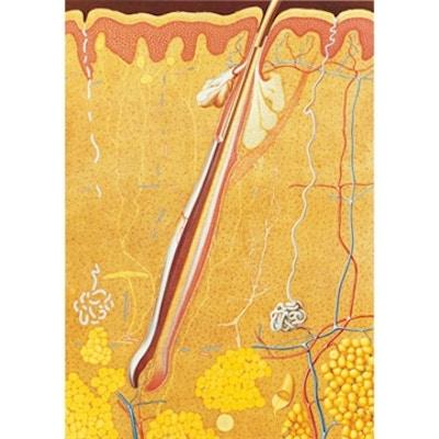 Plakat med illustrationer af huden (inkl. navngivning og påmonterede trælister)