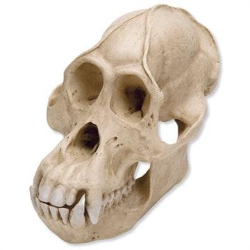 Orangutangkranie fra han (pongo pygmaeus)