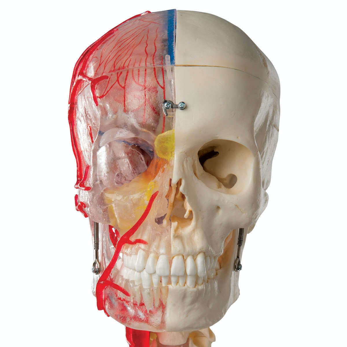 BONELIKE Avancereret didaktisk kranie i 7 dele, på halshvirvler