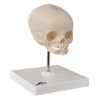 Modell av kranium hos foster i 30 veckan
