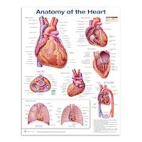 Plakat om hjertets anatomi på engelsk