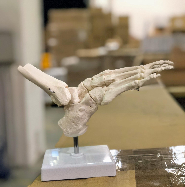 Særdeles fleksibel model af fodens skelet samt lidt af skinne- og lægbenet (med elastikker)