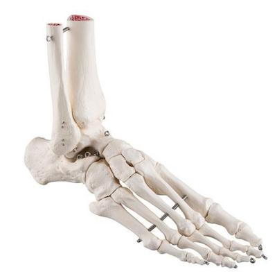 Fotskelett med del av tibia och fibula