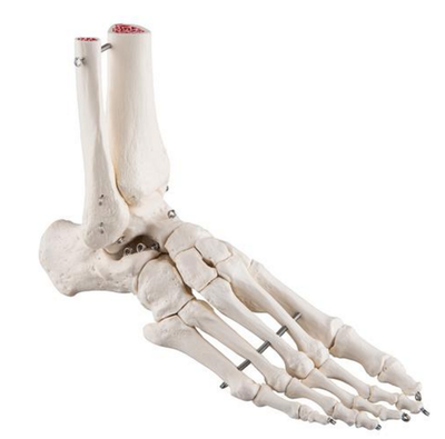 Model af fodens skelet samt lidt af skinne- og lægbenet