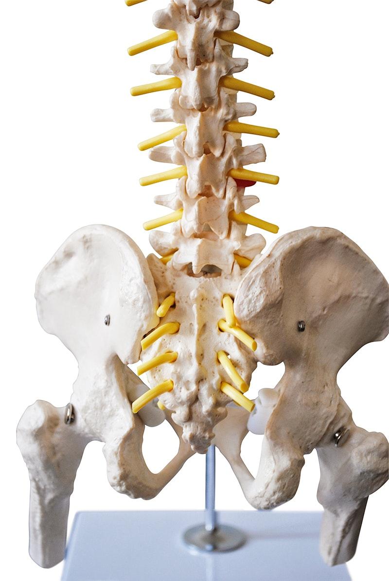 Miniature rygsøjlemodel med bækken, nerver, stativ og del af lårbenene