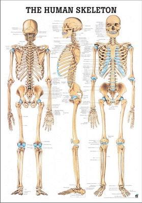 Skeletplakat lamineret engelsk med sorte metallister