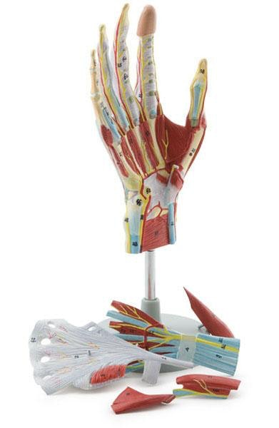 Komplet håndmodel med muskler, sener, kar og nerver - kan adskilles i 7 dele