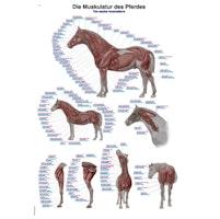 Hestens muskulatur ren latin engelsk og tysk nomenklatur