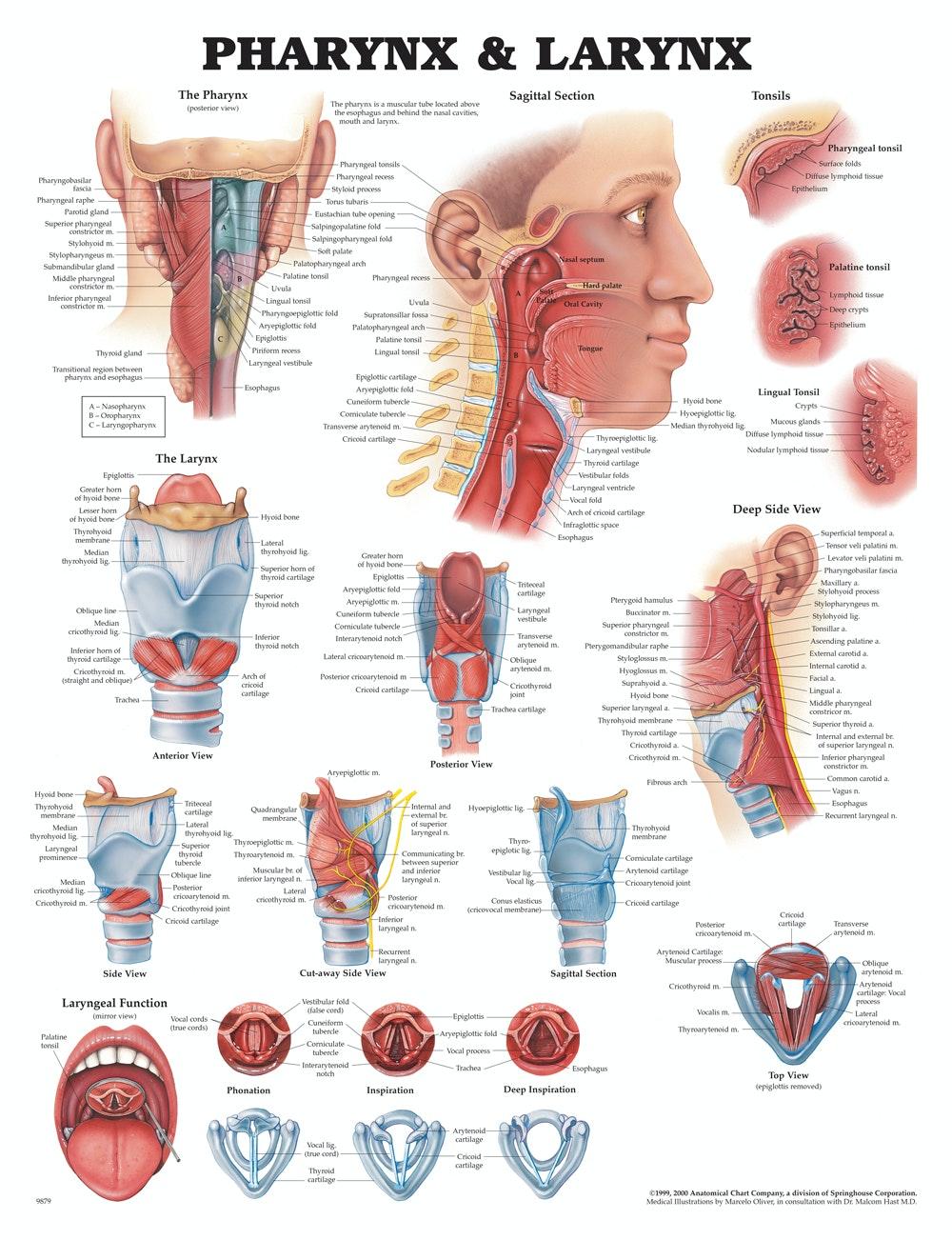 Plakat om svælget og strubehovedets anatomi på engelsk