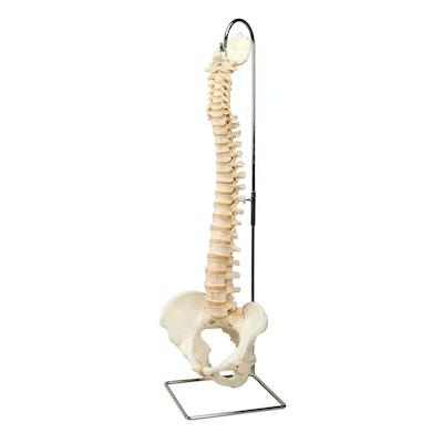 Fleksibel og særdeles naturtro model af rygsøjlen med andre knogler men UDEN STATIV OG NERVER