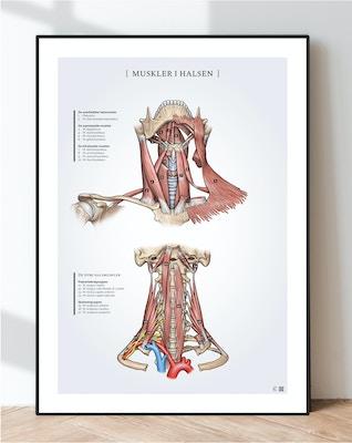 Plakat om muskler i halsen