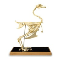 Chicken skeleton (Gallus gallus)