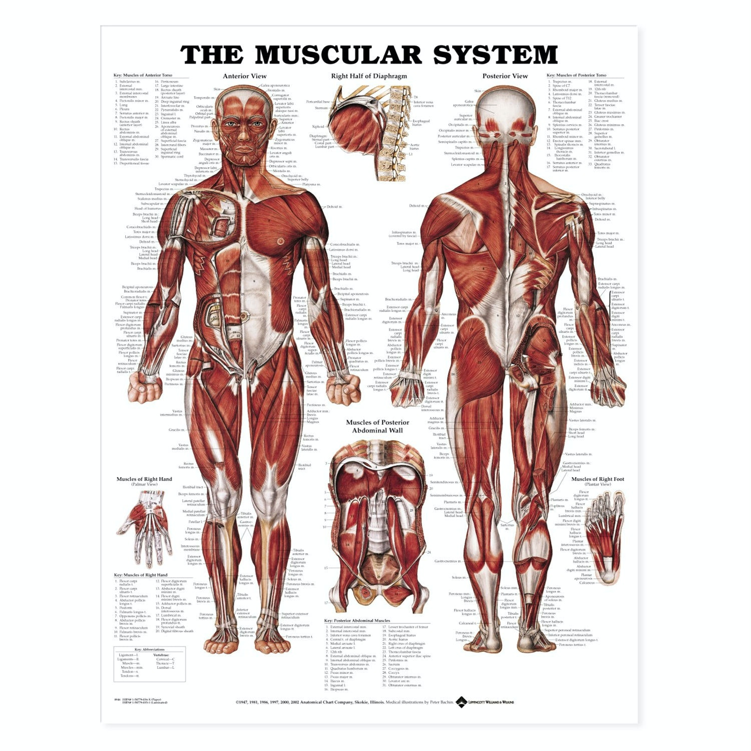 Muskelsystemet lamineret plakat engelsk (The muscular system)