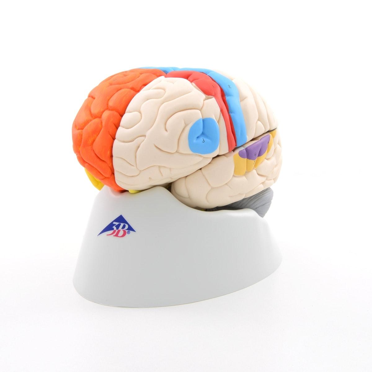 8-delt didaktisk farvet hjernemodel