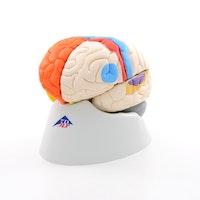 8-delt didaktisk farget hjernemodell