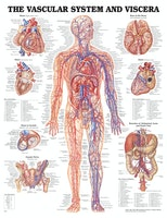 Blodkärlsystem och viscera affisch engelsk