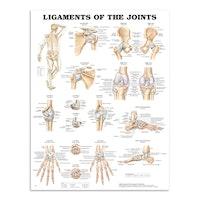 Leddenes ligamenter laminert plakat engelsk (Ligaments of the joints)