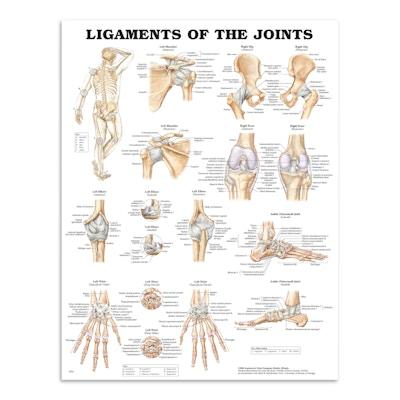 Plakat om leddenes ligamenter på engelsk