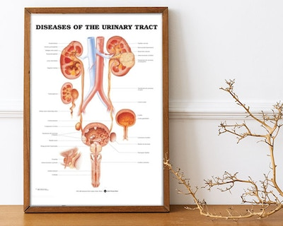 Kidney & urinary tract posters