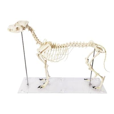 Hundeskelet i plastik og naturlig størrelse præsenteret på en stander