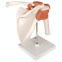 Fleksibel skuldermodel med ledbånd
