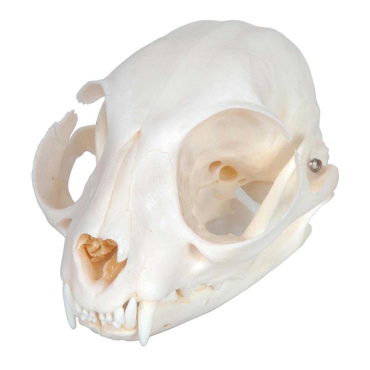 Kattekranie (Felis catus)