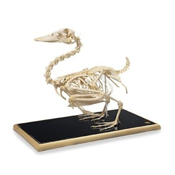 Duck skeleton (Anas platyrhynchos)