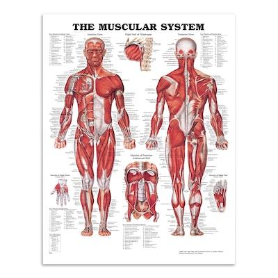 Muskelplakater