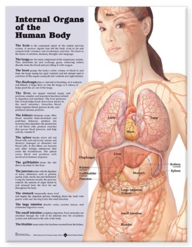 Indre organer lamineret plakat engelsk (Internal organs of the human body)