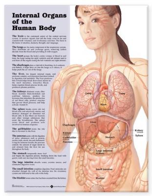 Lamineret plakat om de indre organer på engelsk