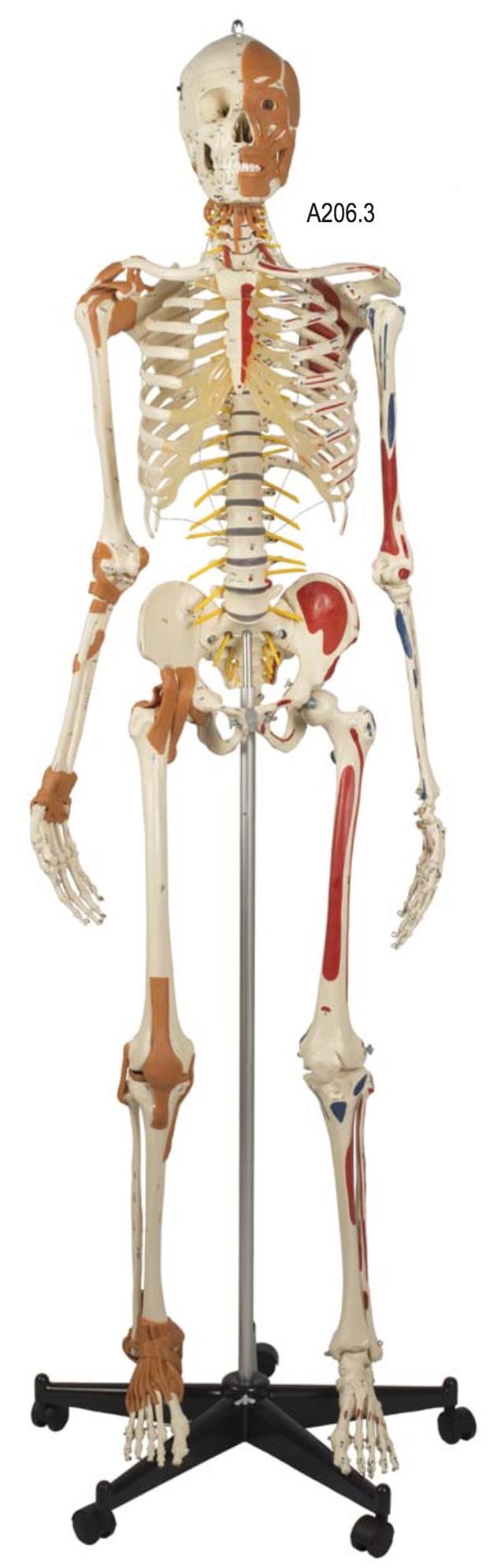 Robust skeletmodel med delvis bevægelig ryg, ansigtsmuskler, ledbånd og muskelangivelser