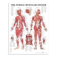 Anatomisk plansch med illustration av en kvinna
