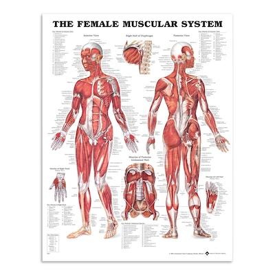 muskelplakat med illustrationer af en kvinde