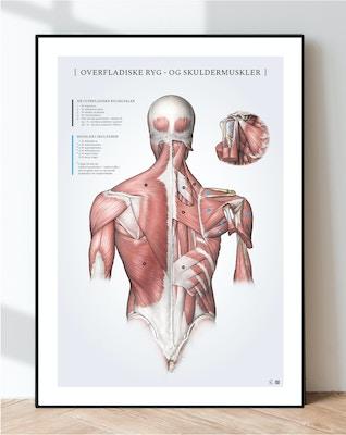 Overfladiske ryg- og skuldermuskler