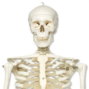Klassisk og robust skelet støbt i stærkt plastikmateriale