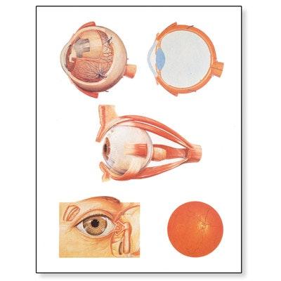Plakat med illustrationer af øjet (med nummereringer og folder med navne på engelsk)