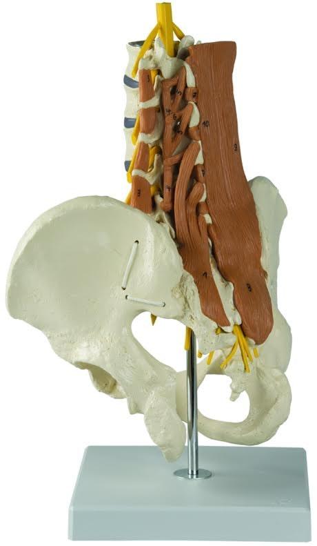 Mandligt bækken med lændemuskler