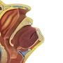 Næse- og halsmodel til øvelse af podningsteknik