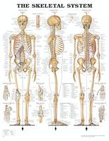 Klassisk skeletplakat som også illustrerer ledbånd (ligamenter) på engelsk