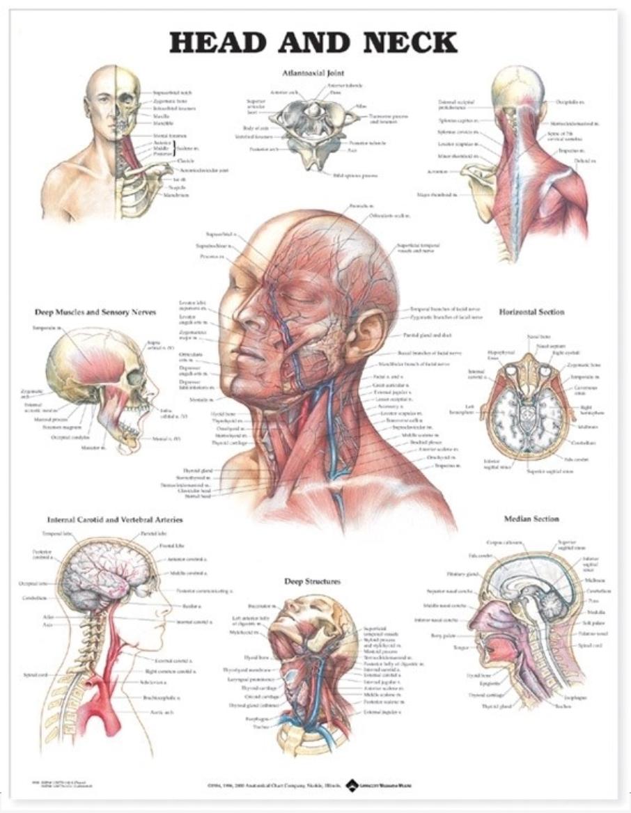 Hoved og nakke lamineret plakat engelsk (Head and neck)