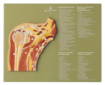 SOMSO Model af sektion gennem skulderled