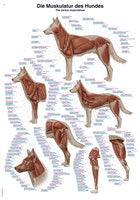 Plakat med hundens muskler på latin, engelsk og tysk