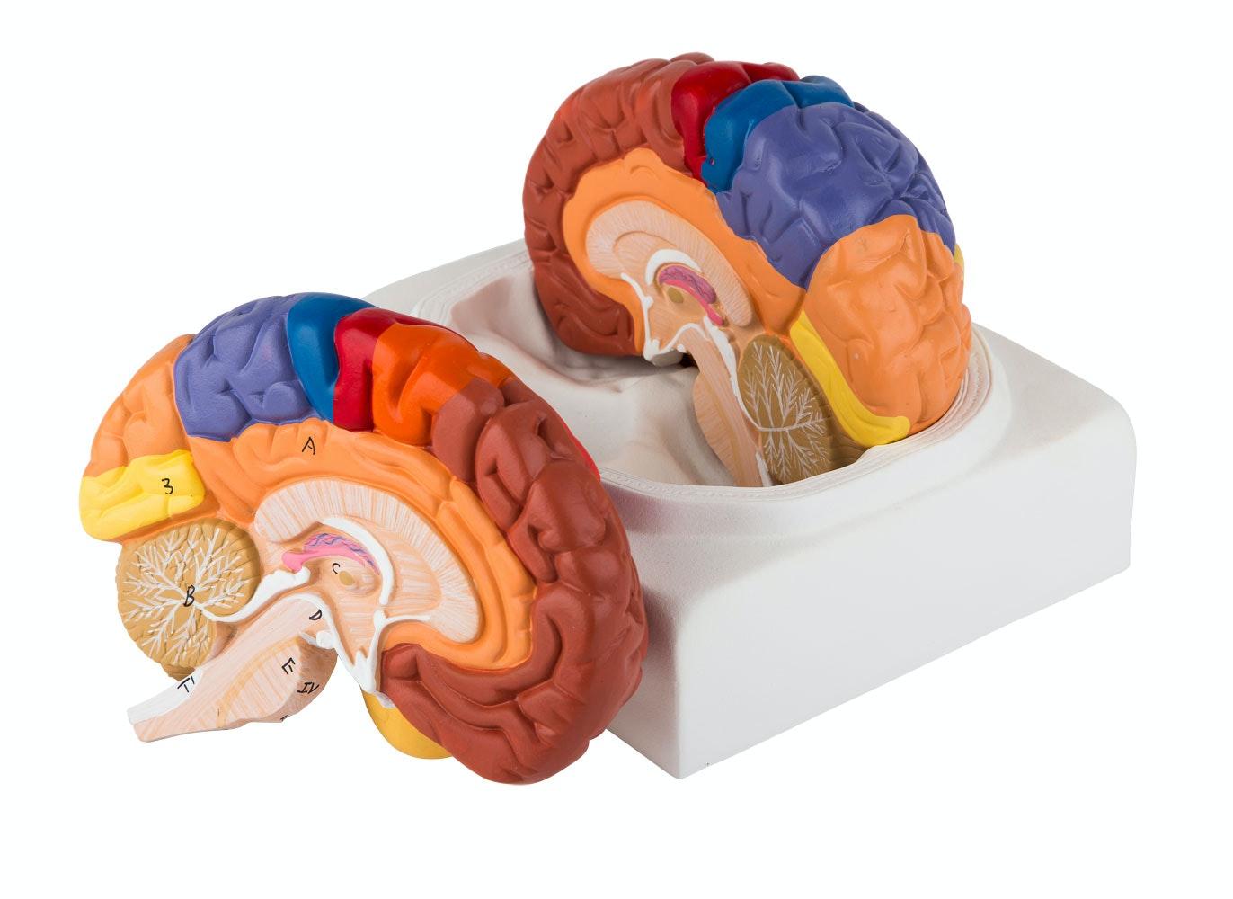 Pædagogisk farvet hjernemodel i 2 dele