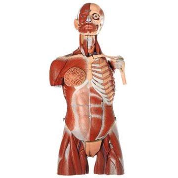 SOMSO Muskeltorso med udskiftelige kønsorganer