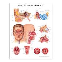 Plakat om øret, næsen og halsens anatomi på engelsk