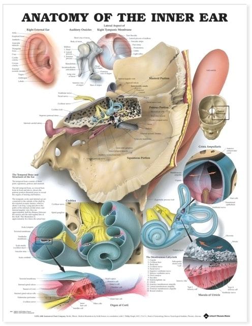 Lamineret plakat om det indre øres anatomi
