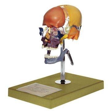 SOMSO Kunstig kraniemodel af en fuldvoksen med farve