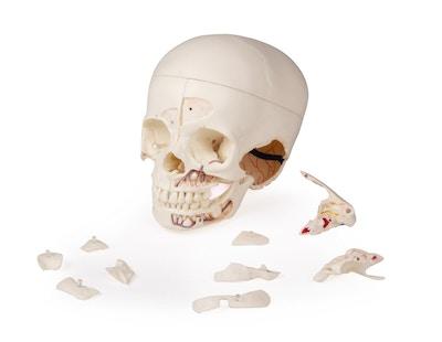 Avanceret model af barne kranie
