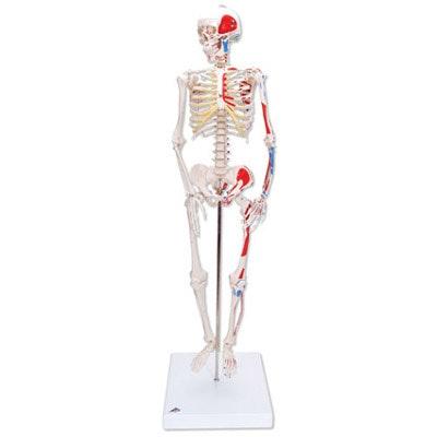 Miniskeletmodel 80 cm med muskulaturangivelser