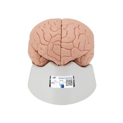 Menneskehjerne model 4 dele